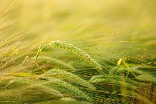 barley-2117454__340